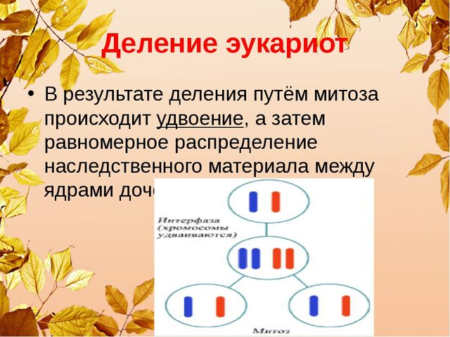 Деление эукариот В результате деления путём митоза происходит удвоение, а зат...