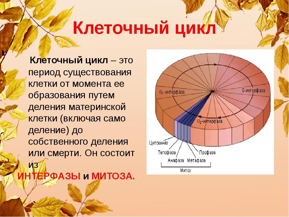 Клеточный цикл Клеточный цикл – это период существования клетки от момента ее...