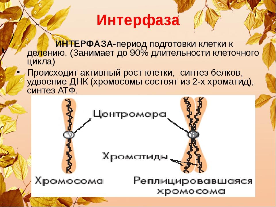 Интерфаза ИНТЕРФАЗА-период подготовки клетки к делению. (Занимает до 90% длит...