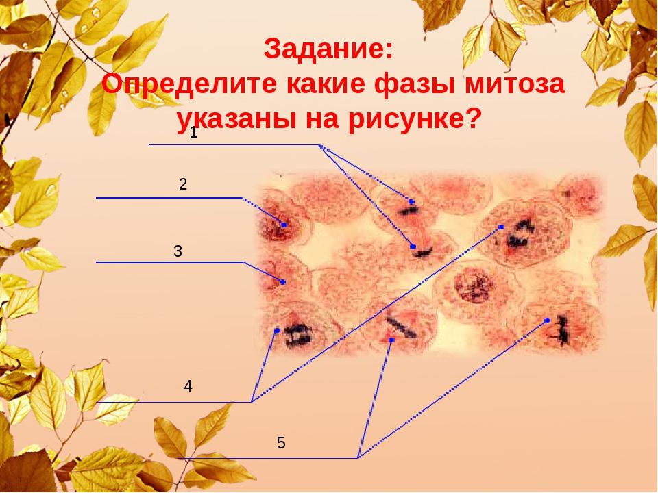 Задание: Определите какие фазы митоза указаны на рисунке? 1 2 3 4 5