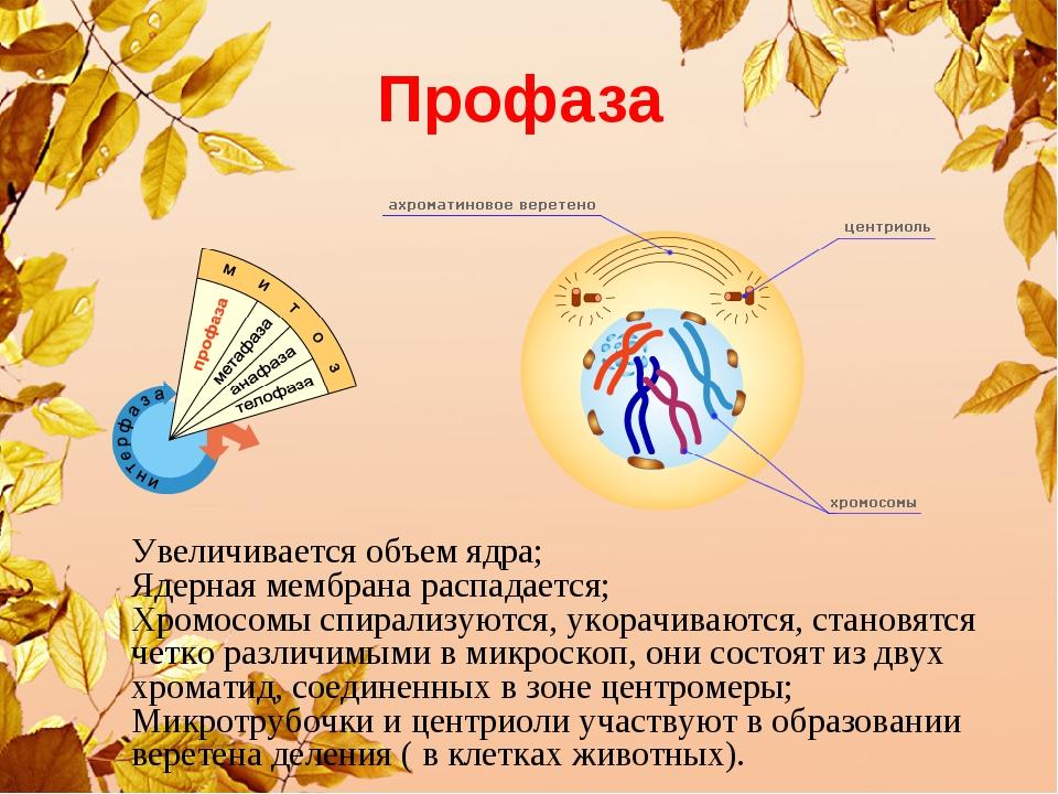 Профаза Увеличивается объем ядра; Ядерная мембрана распадается; Хромосомы спи...