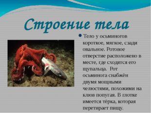 Строение тела Тело у осьминогов короткое, мягкое, сзади овальное. Ротовое отв