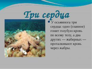 Три сердца У осьминога три сердца: одно (главное) гонит голубую кровь по всем