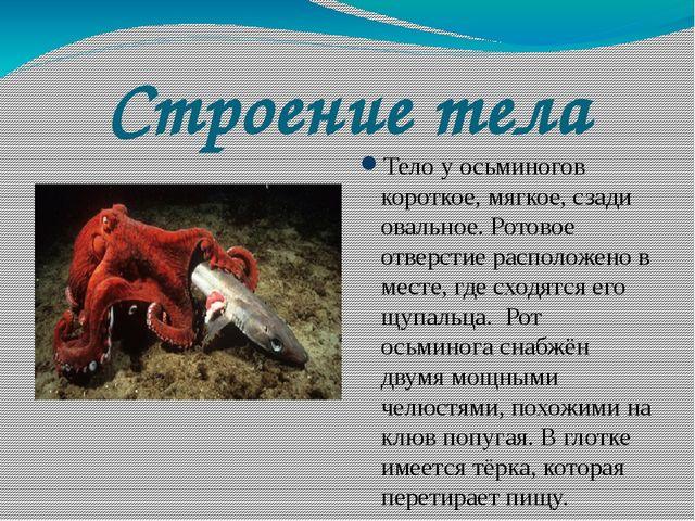 Строение тела Тело у осьминогов короткое, мягкое, сзади овальное. Ротовое отв...