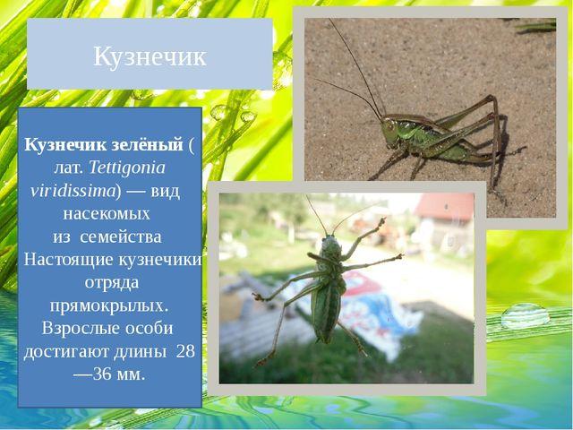 Кузнечик Кузнечик зелёный(лат.Tettigonia viridissima)— вид насекомых из...