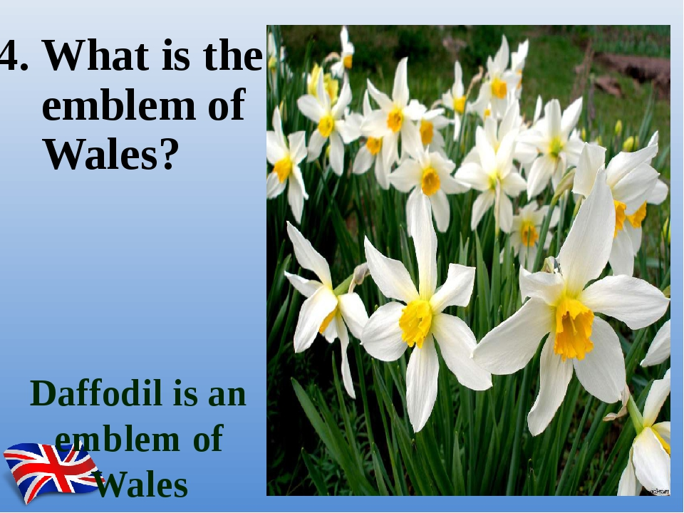 Daffodil is an emblem of Wales 4. What is the emblem of Wales?