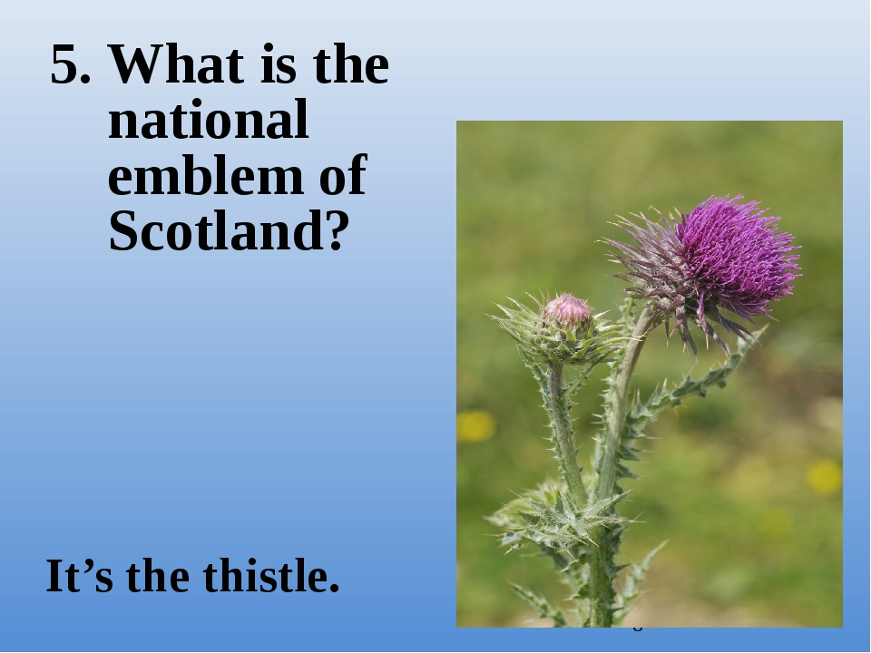 5. What is the national emblem of Scotland? It's the thistle.