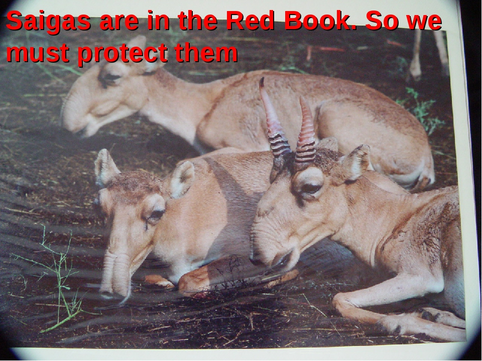 Saigas are in the Red Book. So we must protect them