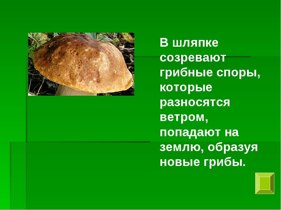 В шляпке созревают грибные споры, которые разносятся ветром, попадают на земл...