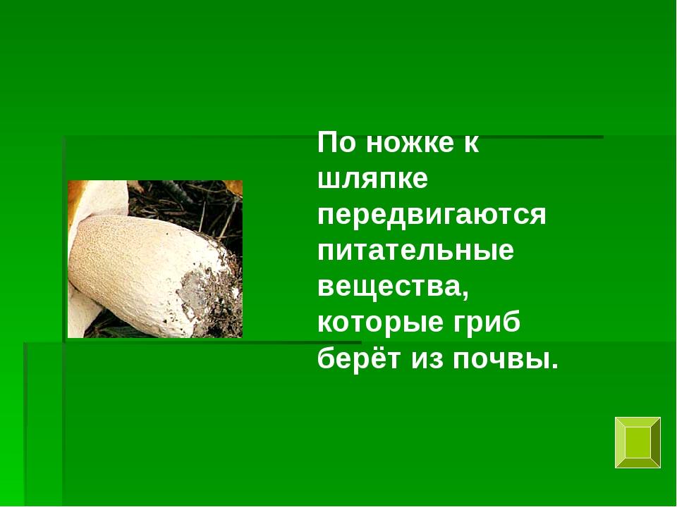 По ножке к шляпке передвигаются питательные вещества, которые гриб берёт из п...