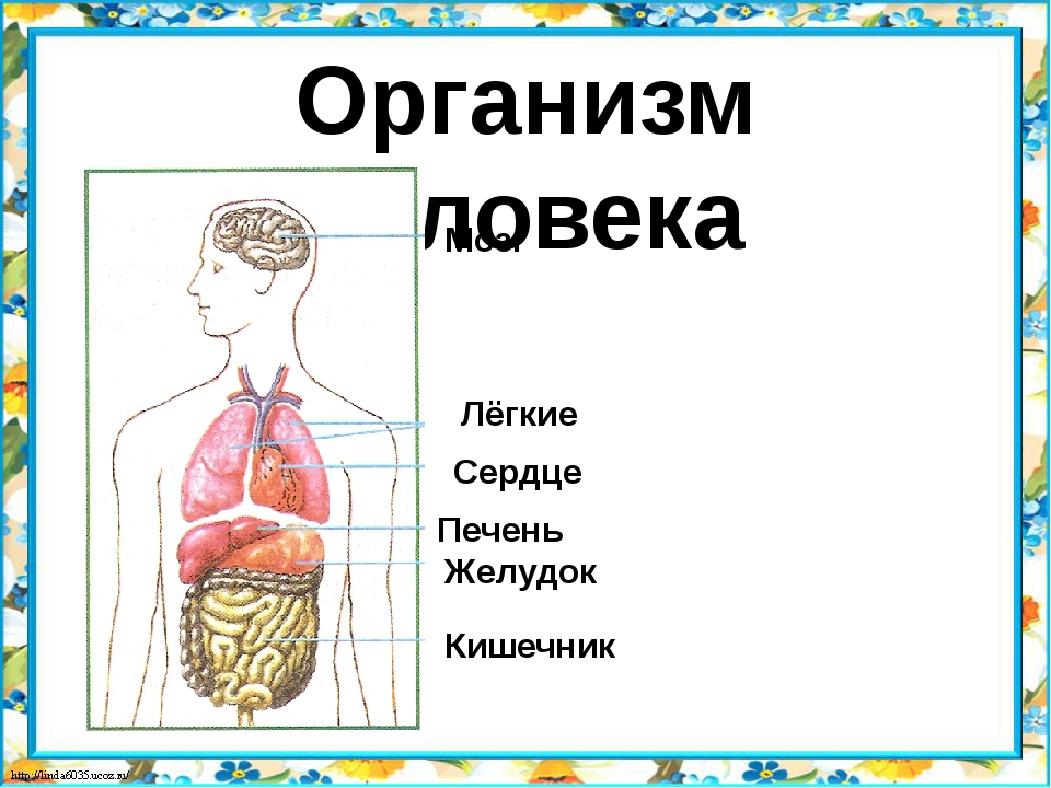 Организм человека Мозг Лёгкие Сердце Желудок Печень Кишечник