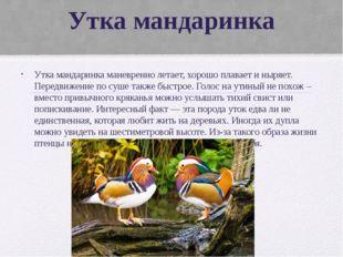 Утка мандаринка Утка мандаринка маневренно летает, хорошо плавает и ныряет. П
