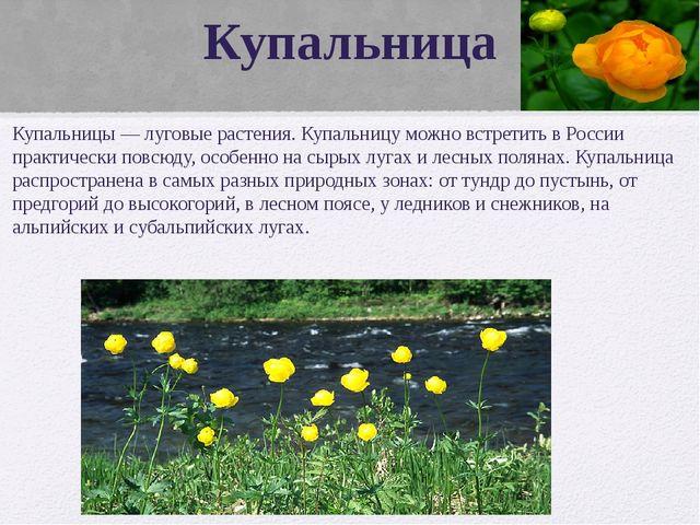 Купальница Купальницы — луговые растения. Купальницу можно встретить в России...