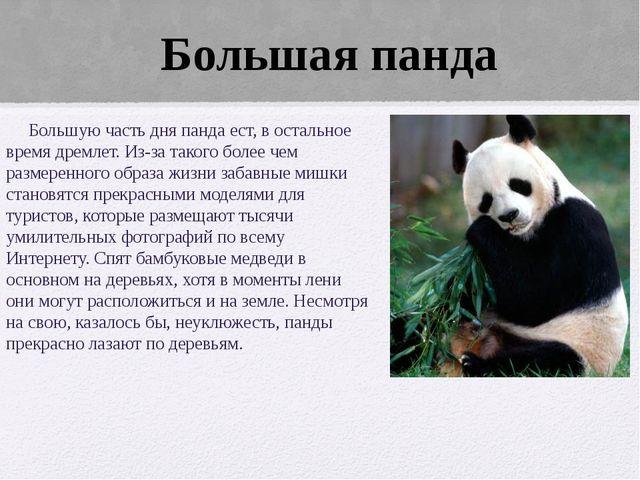 Большую часть дня панда ест, в остальное время дремлет. Из-за такого более ч...
