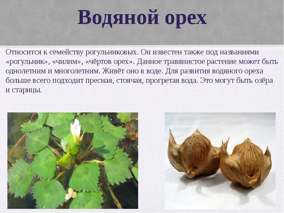 Водяной орех Относится к семейству рогульниковых. Он известен также под назва...