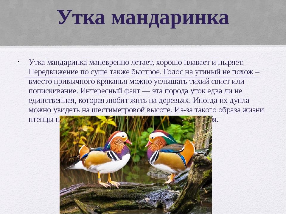 Утка мандаринка Утка мандаринка маневренно летает, хорошо плавает и ныряет. П...