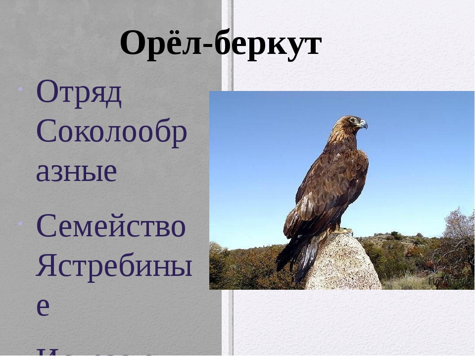 Отряд Соколообразные Семейство Ястребиные Исчезающий вид. Крупный орел, разма...