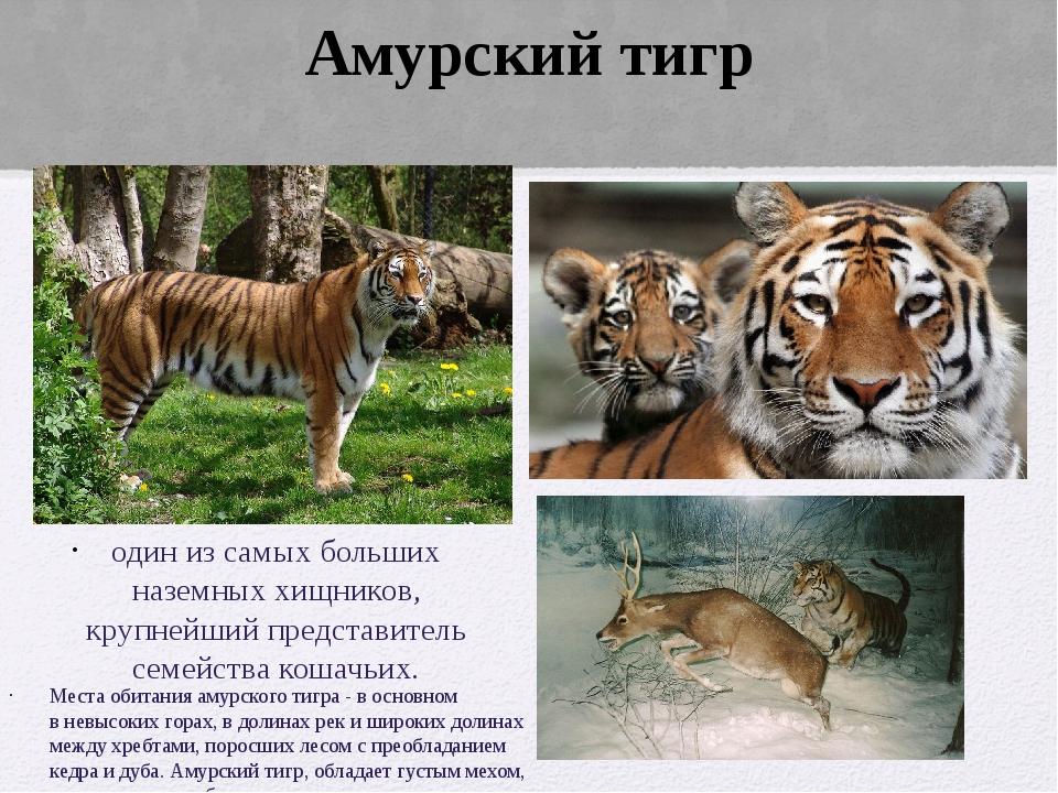 один из самых больших наземных хищников, крупнейший представитель семейства к...