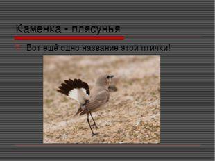 Каменка - плясунья Вот ещё одно название этой птички!
