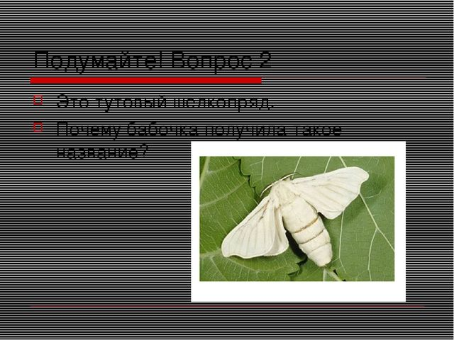 Подумайте! Вопрос 2 Это тутовый шелкопряд. Почему бабочка получила такое назв...