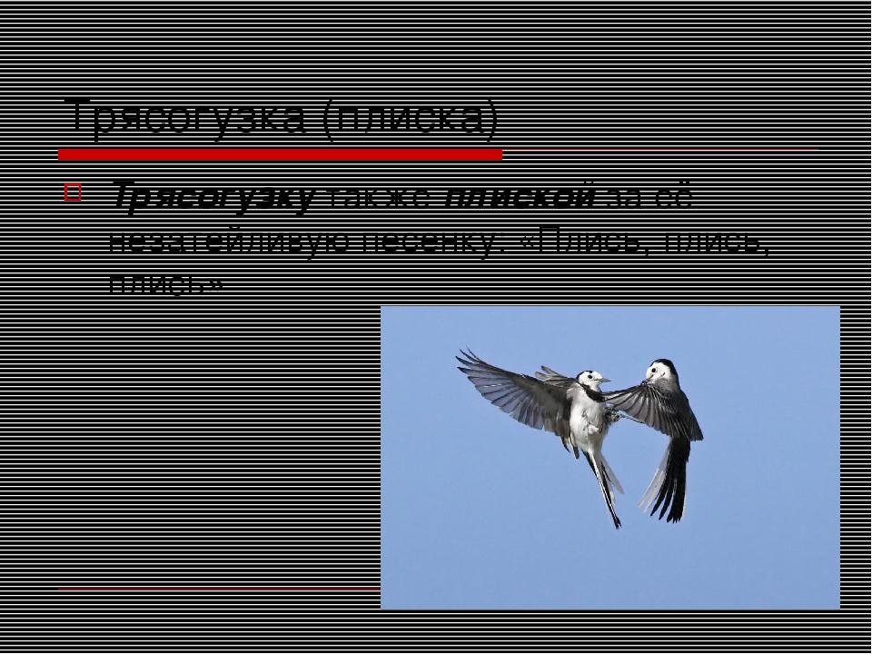 Трясогузка (плиска) Трясогузку также плиской за её незатейливую песенку: «Пли...