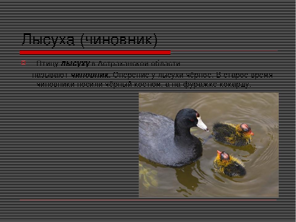 Лысуха (чиновник) Птицу лысуху в Астраханской области называют чиновник. Опер...