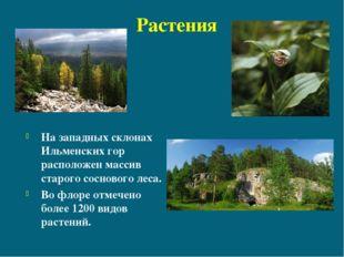Растения На западных склонах Ильменских гор расположен массив старого соснов