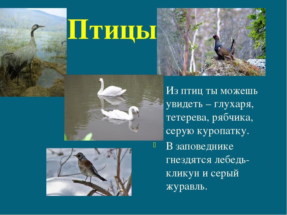 Птицы Из птиц ты можешь увидеть – глухаря, тетерева, рябчика, серую куропатк...