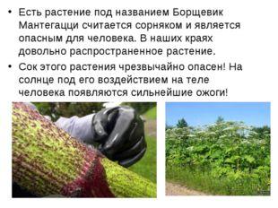 Есть растение под названием Борщевик Мантегацци считается сорняком и является