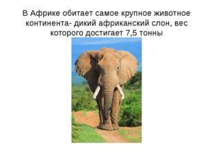 В Африке обитает самое крупное животное континента- дикий африканский слон, в