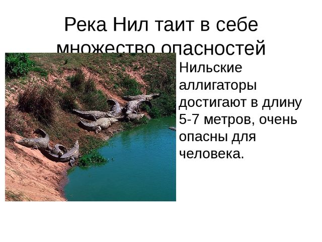 Река Нил таит в себе множество опасностей Нильские аллигаторы достигают в дли...