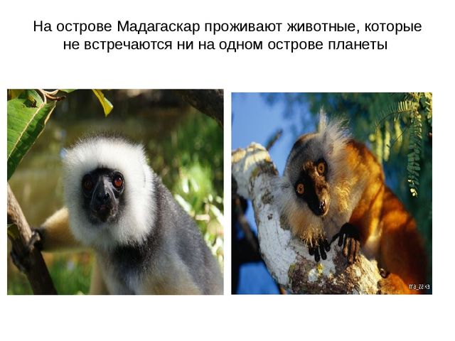 На острове Мадагаскар проживают животные, которые не встречаются ни на одном...