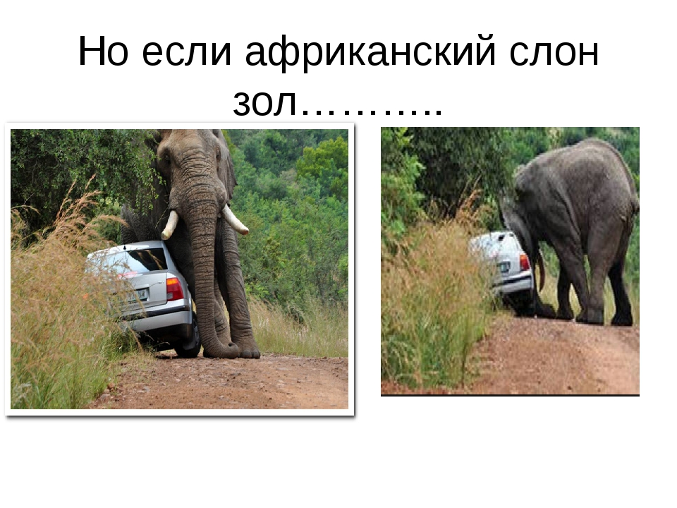 Но если африканский слон зол………..