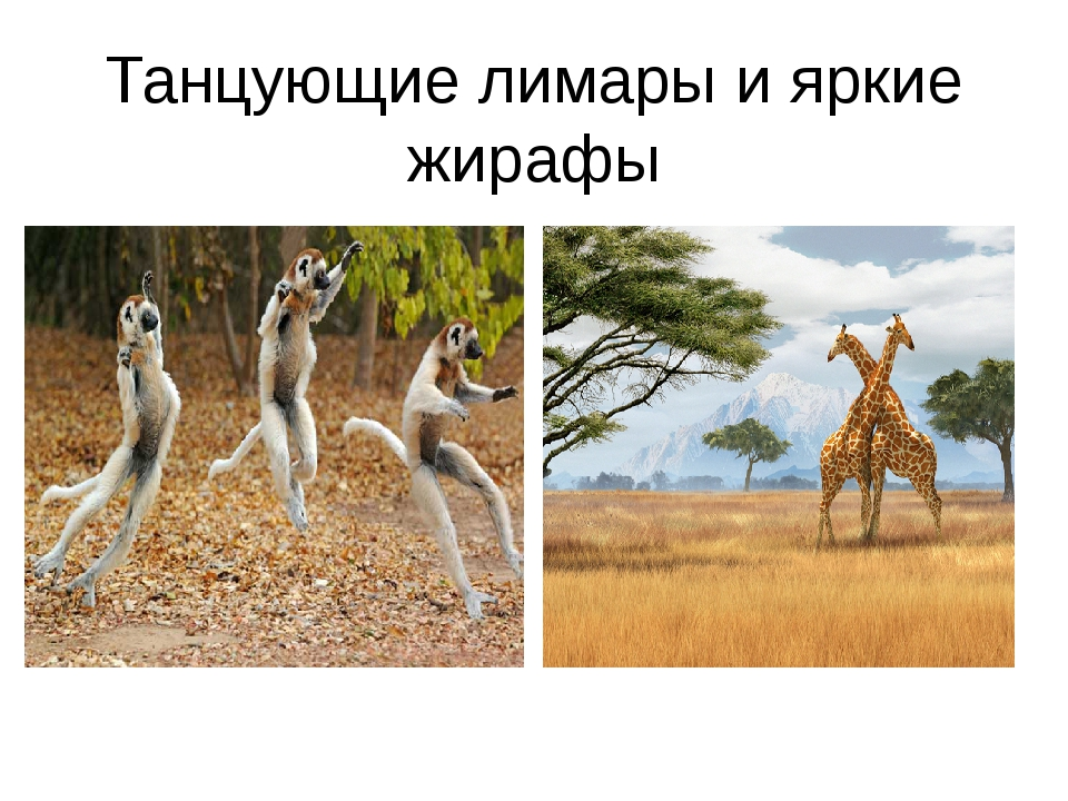 Танцующие лимары и яркие жирафы
