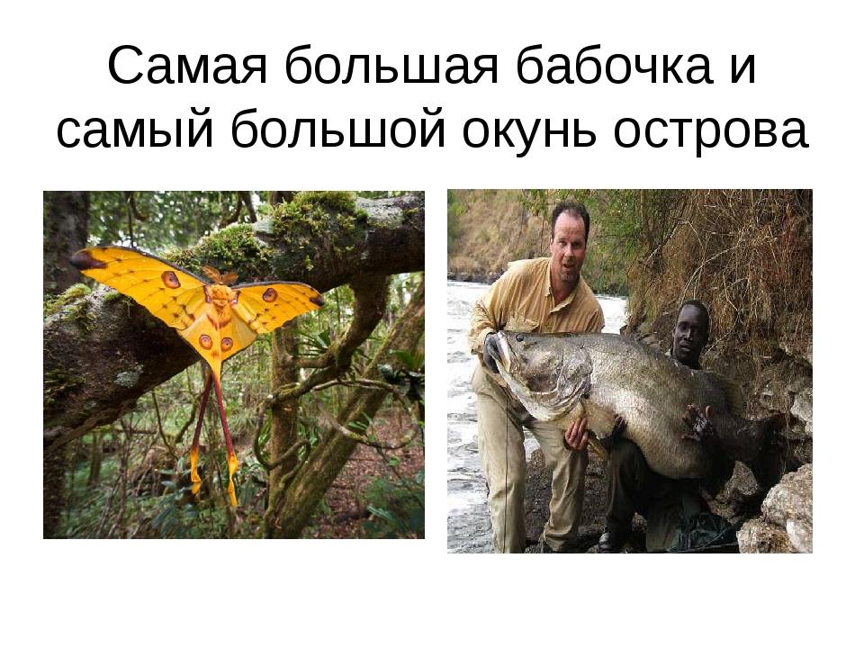 Самая большая бабочка и самый большой окунь острова