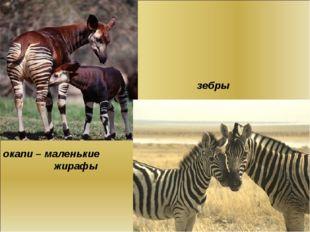 окапи – маленькие жирафы зебры