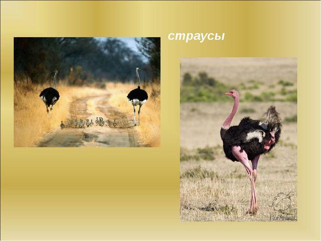 страусы