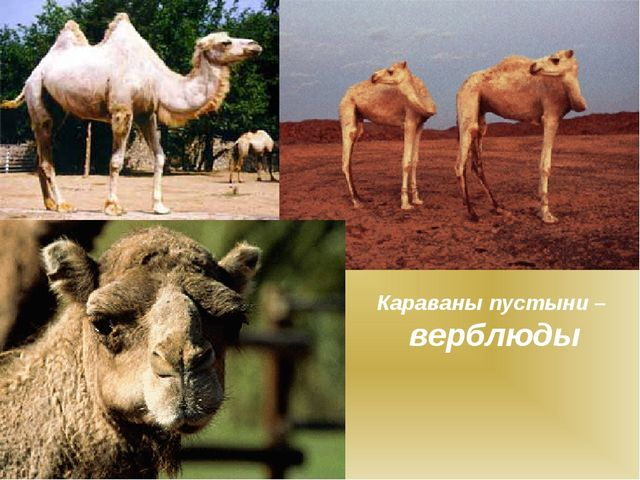 Караваны пустыни – верблюды