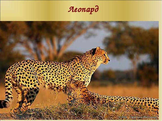 Леопард п