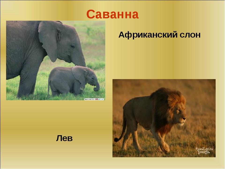 Саванна Лев Африканский слон