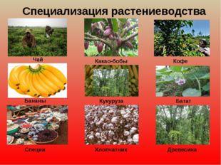 Специализация растениеводства Чай Бананы Какао-бобы Кукуруза Кофе Батат Специ