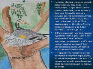 «Горный гусь» На Алтае обитает еще один редкий представитель рода птиц – это