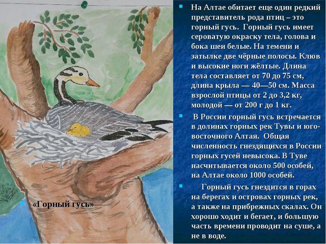 «Горный гусь» На Алтае обитает еще один редкий представитель рода птиц – это...