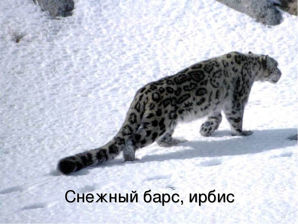 Снежный барс, ирбис