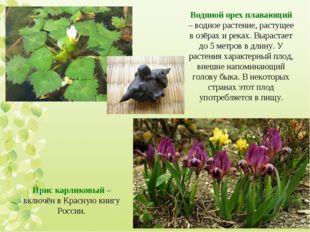 Водяной орех плавающий – водное растение, растущее в озёрах и реках. Вырастае