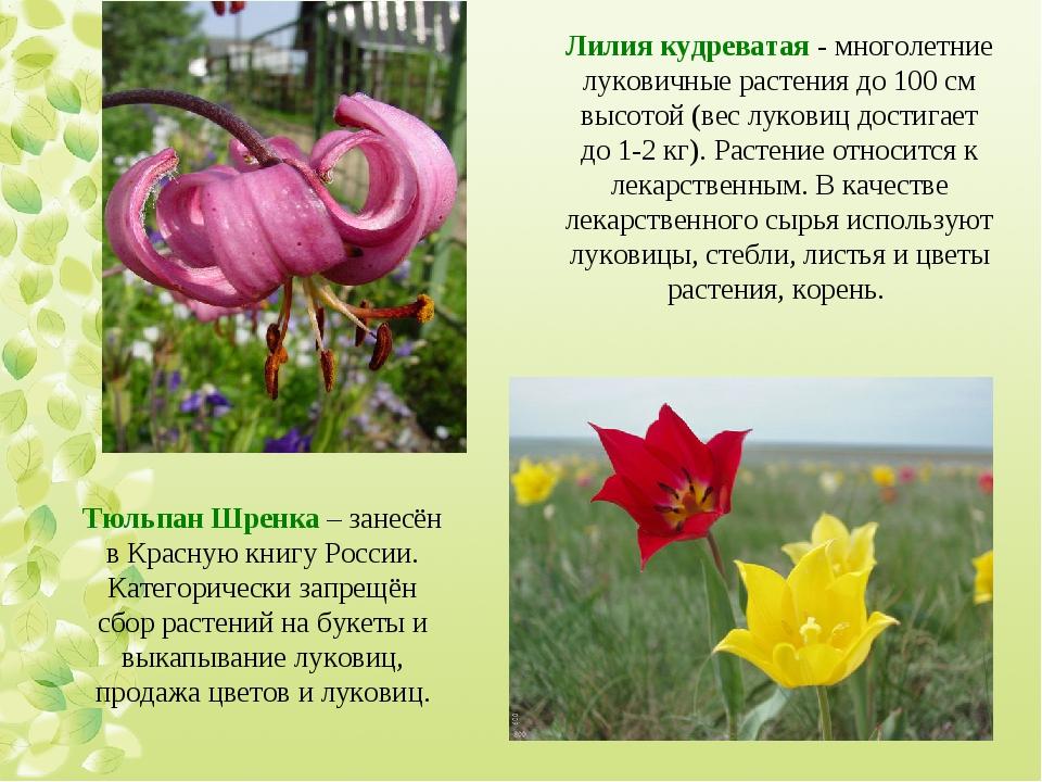 Лилия кудреватая - многолетние луковичные растения до 100 см высотой (вес лук...