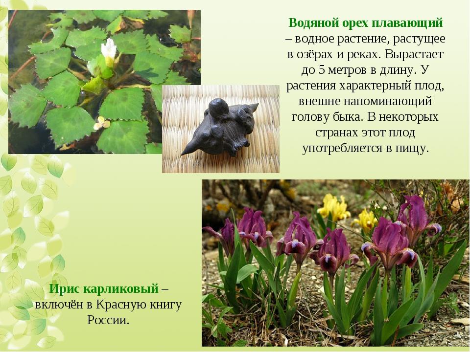 Водяной орех плавающий – водное растение, растущее в озёрах и реках. Вырастае...