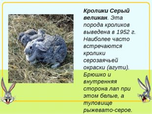 Кролики Серый великан. Эта порода кроликов выведена в 1952 г. Наиболее часто