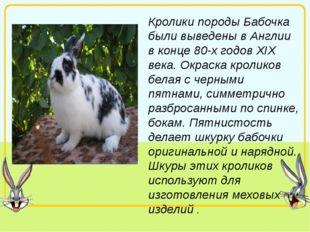 Кролики породы Бабочка были выведены в Англии в конце 80-х годов XIX века. Ок