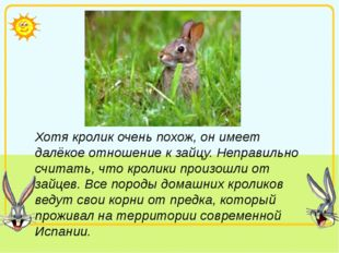 Хотя кролик очень похож, он имеет далёкое отношение к зайцу. Неправильно счит